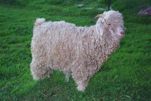Goat&Sheeppage3