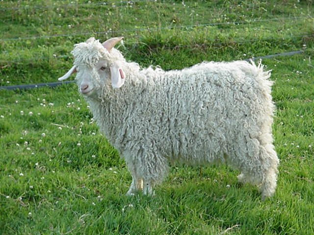 Image result for white angora goat